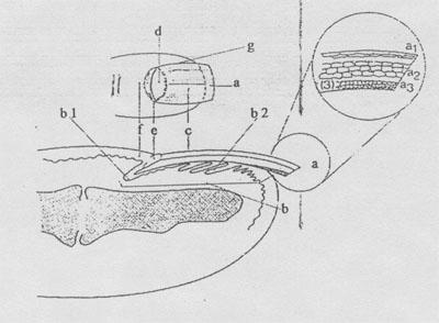 Anatomija nohta