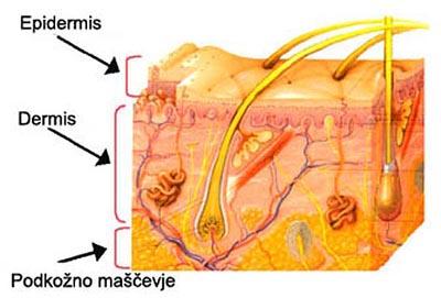celulit - struktura kože
