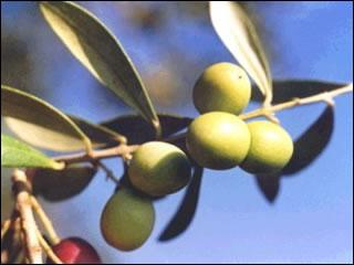 oljka, olive