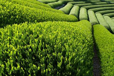 plantaža čaja